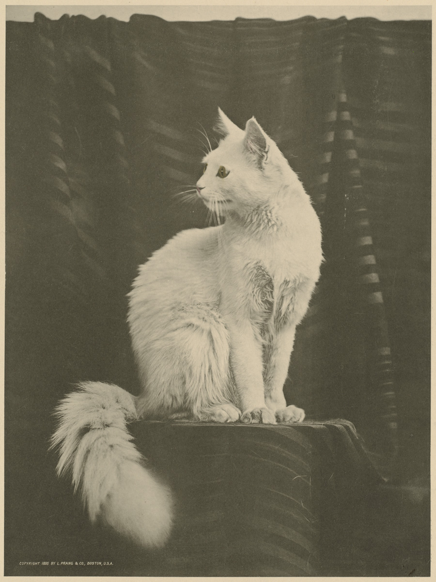 White_cat_by_Boston_Public_Library 1895.jpg