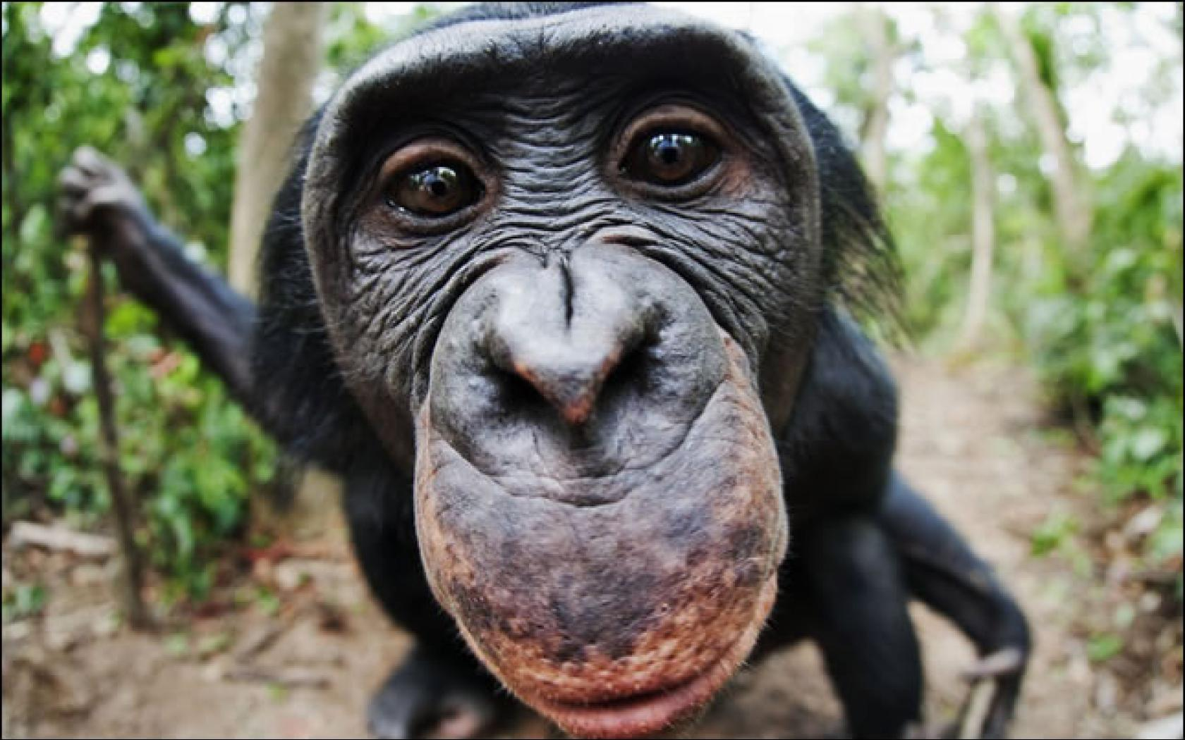 close-up-chimpanzee-hd-wallpapers.jpg