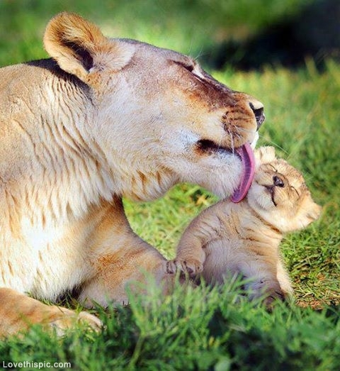 30282-Lioness-Cleaning-Her-Cub.jpg