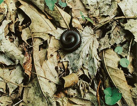 Millipede, Laurel Falls Trail, Great Smoky Mountains National Park, Tennessee, May 10, 1968.jpg