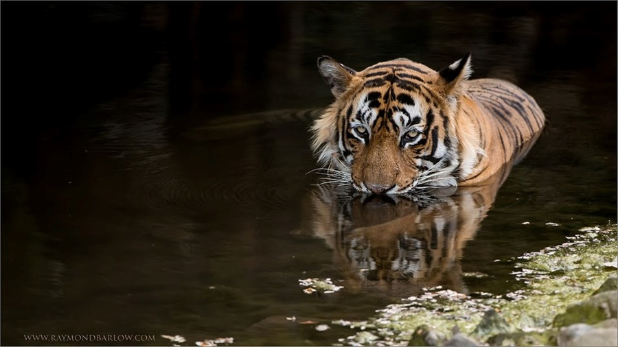 Tiger Cooling Off from the Heat 1600 share.jpg