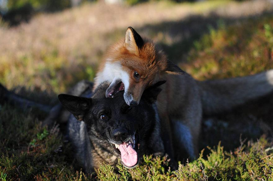 The Fox And The Dog10.jpg