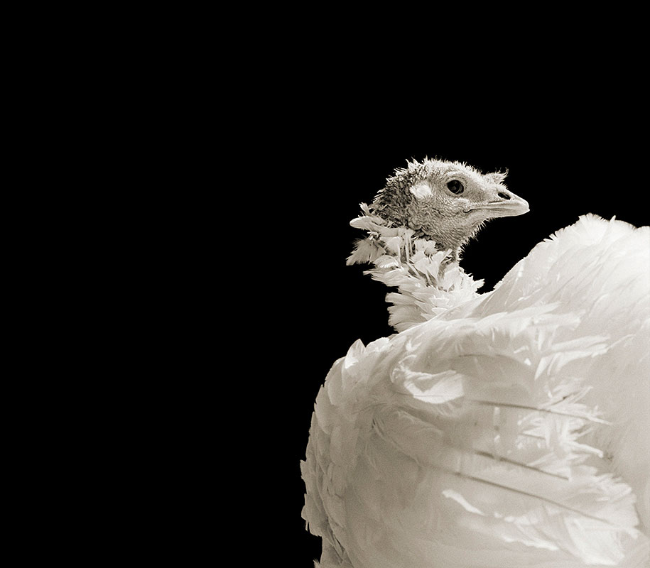 Ash, Domestic White Turkey, Age 8.jpg