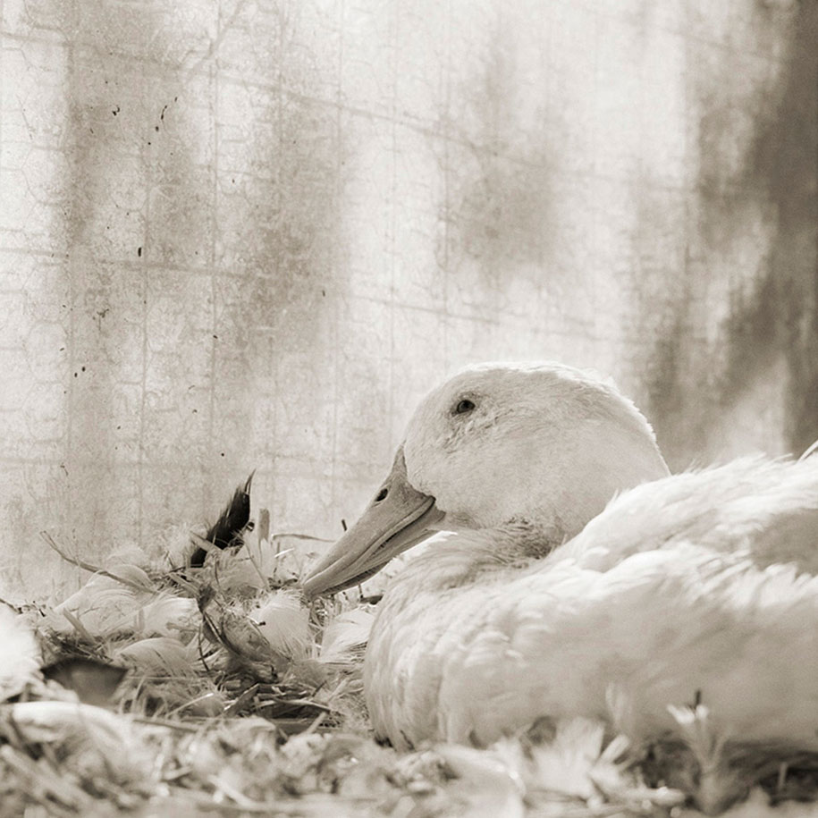 Bobby, White Domestic Duck, Age 11.jpg