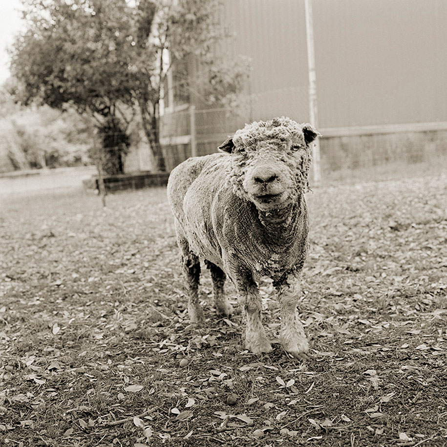 Phyllis, Southdown Sheep, Age 13.jpg