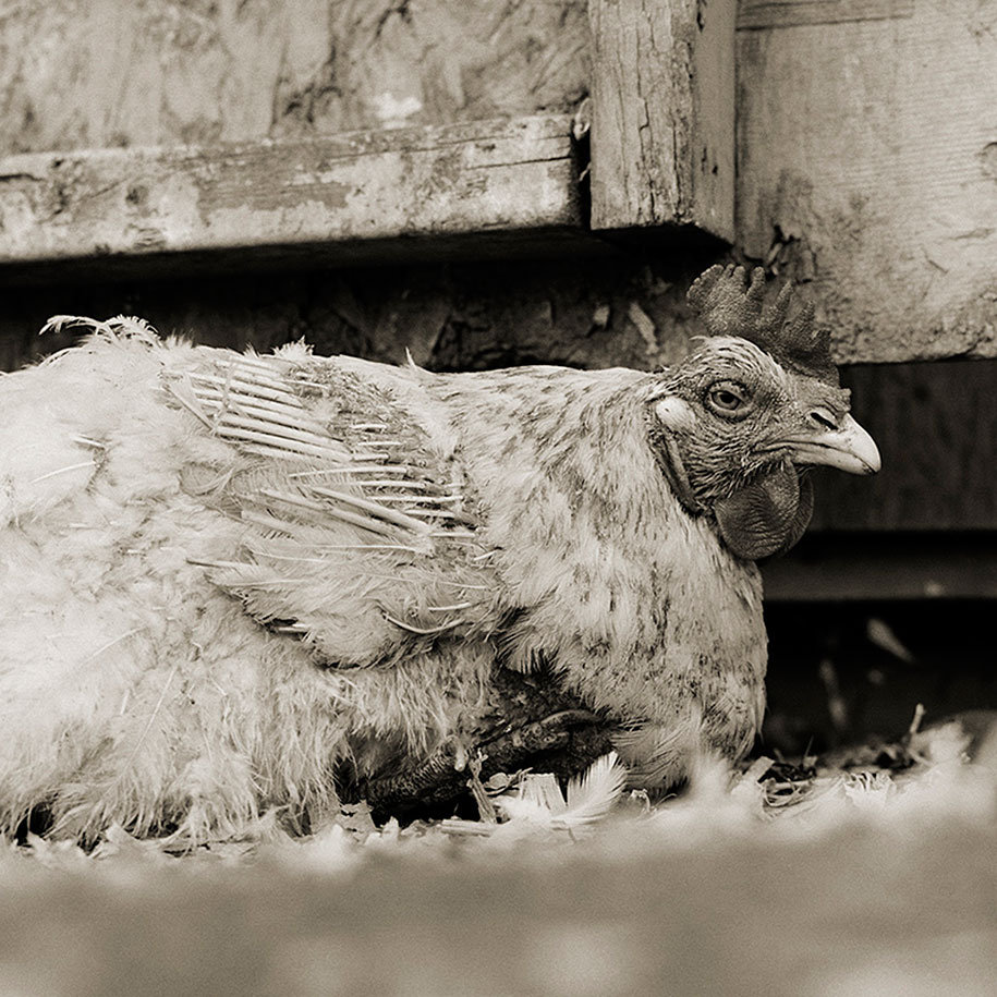 Rooster, Age Unknown.jpg