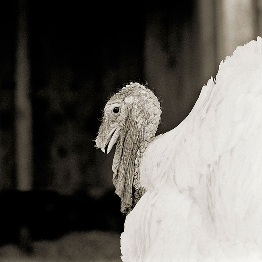 Sierra, White Holland Turkey, Age 3.jpg