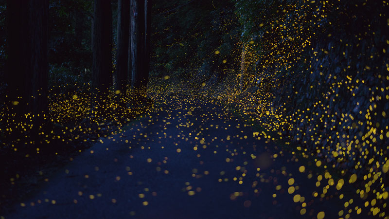 long-exposure-photos-of-fireflies-at-night-tsuneaki-hiramatsu-10.jpg
