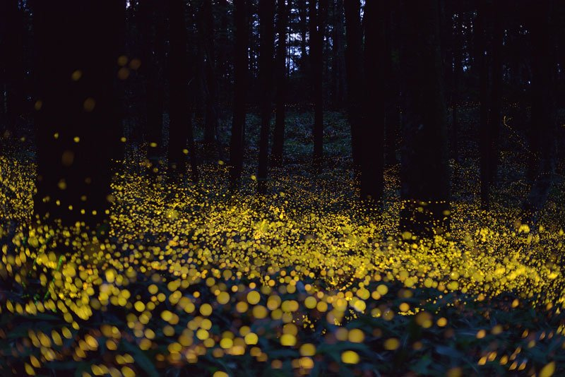 long-exposure-photos-of-fireflies-at-night-tsuneaki-hiramatsu-3.jpg