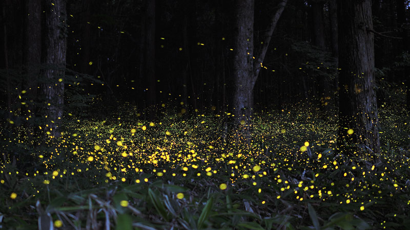 long-exposure-photos-of-fireflies-at-night-tsuneaki-hiramatsu-4.jpg