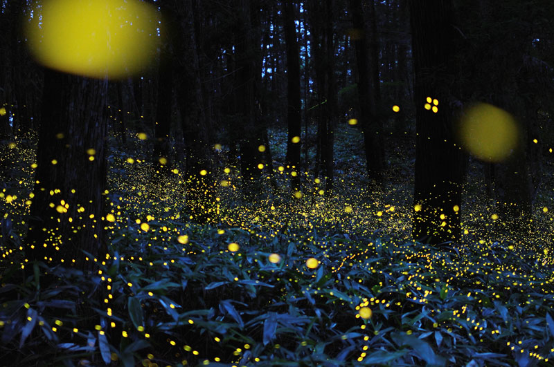 long-exposure-photos-of-fireflies-at-night-tsuneaki-hiramatsu-5.jpg