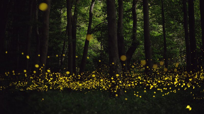 long-exposure-photos-of-fireflies-at-night-tsuneaki-hiramatsu-6.jpg