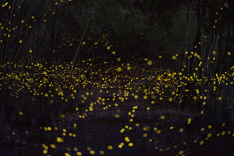 long-exposure-photos-of-fireflies-at-night-tsuneaki-hiramatsu-7.jpg