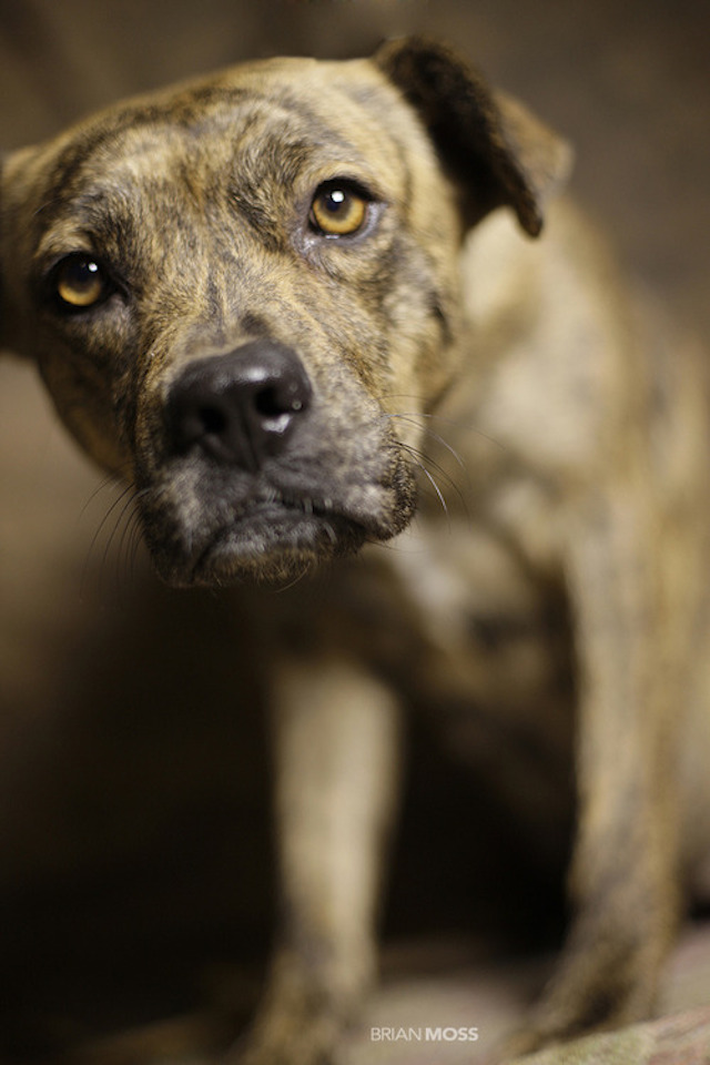 Rescue-Me-Brindle-Pit.jpg