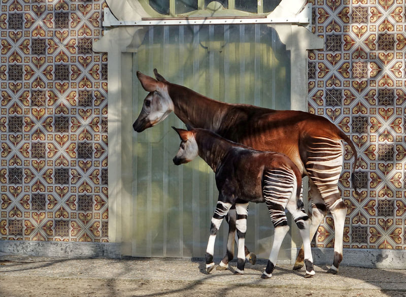 Okapi_and_son.jpg